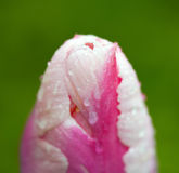 Spring tulip flower,Macro shot. Royalty Free Stock Image