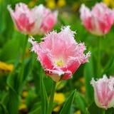 Spring tulip flower Stock Images
