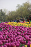 Tulip Flower Show Royalty Free Stock Images