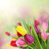 Spring tulip flowers. Colorful fresh spring tulips flowers with dew drops. Shallow DOF