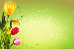 Spring tulip flowers. Colorful tulips spring flowers on a light background green for parties of 8 march and easter Royalty Free Stock Images