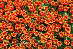 Spring Tulip Flowers Background - Field of Tulip Flovers on a Spring Festival Royalty Free Stock Photos