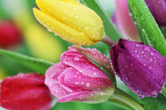Spring tulip flowers close-up. Colorful fresh spring tulips flowers with dew drops. Close-up with shallow DOF royalty free stock images