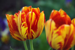 Spring tulip flowers. Colorful tulips on a dark background Stock Image