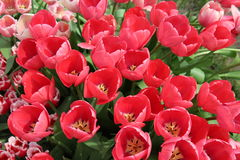 Spring Tulip Flowers - Field of Tulip Flovers on a Spring Festival Royalty Free Stock Images
