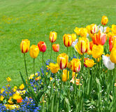 Spring tulip flowers with green grass Stock Image