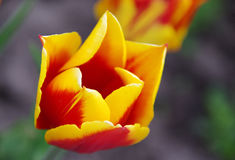 Spring tulip flowers. Сolorful tulips on a gray background Royalty Free Stock Images