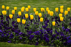 Spring tulip flowers Royalty Free Stock Images