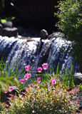 Spring tulip flowers. Pink spring tulip flowers on the background of a waterfall Stock Image