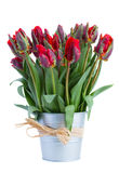 Spring tulip flowers in pot Royalty Free Stock Photo