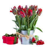 Spring tulip flowers in pot with gift box Royalty Free Stock Photos