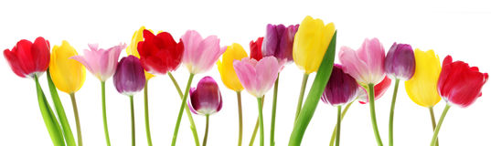 Spring tulip flowers in a row. Colorful fresh spring tulips flowers border in a row on white background