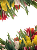 Spring Tulip Frame Stock Photos