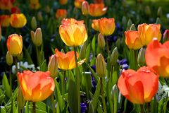 Spring tulip garden Stock Photo