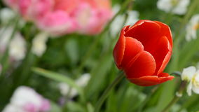 Spring Tulip. Handheld Footage Of A Tulip Moving In The Breeze stock video footage