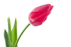 Spring tulip isolated Stock Images