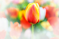 Spring tulip Royalty Free Stock Photo
