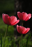 Spring Tulip. Pink tulips on a dark background Royalty Free Stock Images