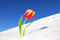 A spring tulip in snow, before winter is going. A red and yellow striped spring tulip in snow, before winter is going stock photos