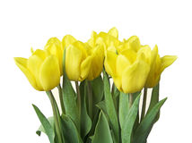 Spring Tulips. Yellow tulips isolated on white royalty free stock images