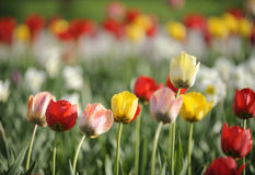 Spring tulips. On the field Royalty Free Stock Image