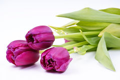Spring tulips. Violet spring tulips on white background Royalty Free Stock Photo