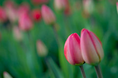 Spring tulips. Stock Photo