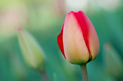 Spring tulips. Stock Images