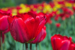 Spring tulips. Stock Image