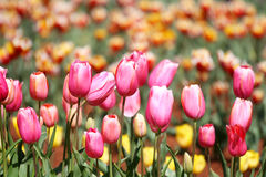 Spring Tulips Stock Photography