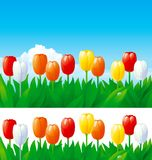 Spring tulips. Vector spring backgrounds of  many tulips on blue sky and  on white Royalty Free Stock Photography