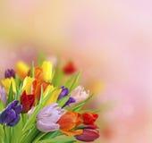 Spring tulips royalty free stock photos