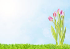 Spring tulips. Spring, easter view for pink tulips with petals in sunny day on bright sky background Stock Image