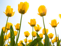 Spring Tulips. Fresh yellow spring tulips. The bottom view Royalty Free Stock Images