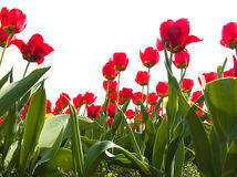 Spring Tulips Stock Photos
