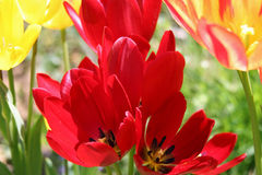 Spring Tulips 4. Spring Tulips in bold red and yellow stock photography
