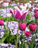 Spring tulips. Colourful tulips flowering in spring time Royalty Free Stock Image