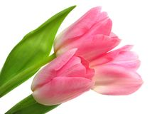 Spring tulips Stock Image