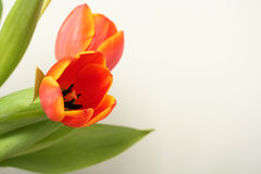 Spring Tulips Royalty Free Stock Images