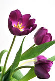 Spring Tulips. Colorful spring tulips over a white background Stock Images