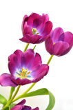 Spring Tulips. Fragrant and colorful tulips over a white background Stock Image