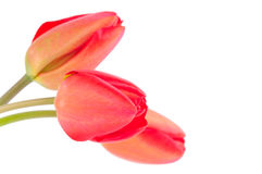 Spring Tulips. Isolated on white background Royalty Free Stock Images