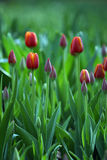 Spring tulips. Many red tulips Royalty Free Stock Photography