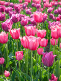 Spring_tulips. Spring tulips as a background Stock Photo
