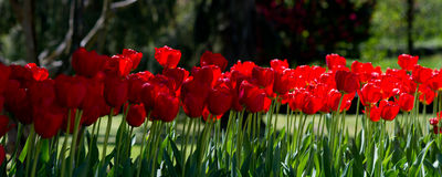 Spring tulips background Royalty Free Stock Photo