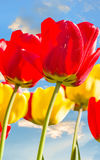 Spring tulips backlit on a blue sky background Stock Photography