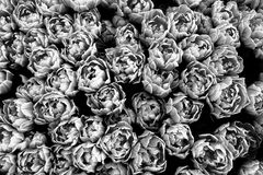 Spring tulips beginning to flourish seen from a top view. Photo perspective from above, in black and white. With high contrast between shadows and highlights stock photos