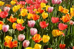 Spring Tulips in Bloom. Colorful tulips in full bloom in the spring Stock Images