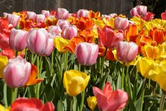 Spring Tulips in Bloom. Colorful tulips in full bloom in the spring Royalty Free Stock Images