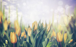 Spring tulips blooming plant, toned Royalty Free Stock Photography